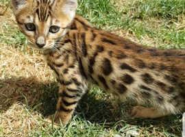 9a164787 Stunning Bengal Kittens Tica Registered