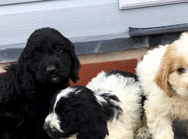 Cockapoo Puppies For Sale in Flintshire | Dogs & Puppies For Sale
