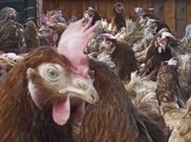 Chickens For Sale & Rehome in Carlisle | Find Livestocks For