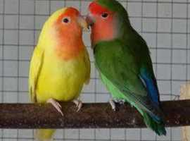 Love Birds For Sale & Rehome in Somerset | Find Birds For