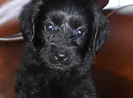 Newfypoo Puppies in Crowborough TN6 on Freeads Classifieds