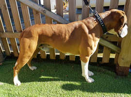 Very thick set muscular boxer stud dog