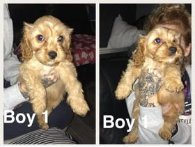 Cavapoo Puppies 500 - Eastbourne - Cavapoos puppies Cavalier King Charles spaniel x miniature poodle Our beautiful girl Bel has given birth to 6 lovely puppies. Three Girl and three Boys. Our puppies are very playfully each with there own bubbly personalitys and have been we'l - Eastbourne
