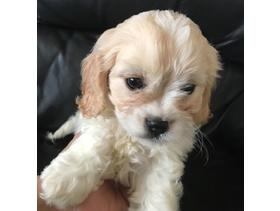 Cavapoo puppies F1 cavalier x poodle 350 - Brighton - We have a gorgeous litter of cavapoos puppies. Mum is a toy Poodle and can be viewed with the puppies Dad is a liver and white Cavalier King Charles Spaniel We have two boys and two girls left They are microchipped and wormed We have young chil - Brighton