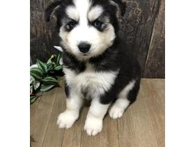 Marvelous Siberian Husky Puppies For Adoption 400 - Westminster - Marvelous Siberian Husky puppies for adoption. Top quality puppy, 11 weeks old, very healthy. All health records available. Welcoming, playful and very social. Will make your family best companion. - Westminster