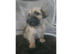 Pug / shihtzu  fluffy pug 350 - Bridgend - Ready to leave now they 10 weeks old looking for a forever loving home they have been flead and wormed these little fluff balls are so loving they mum is shitzu and dad pug ...viewings welcome call or tx thanks - Bridgend