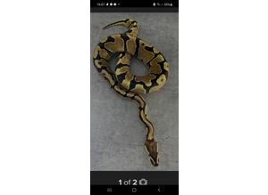 Reptile rehoming/adoption service