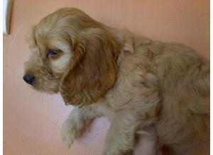 Adorable Litter of  f1 cockapoo puppies