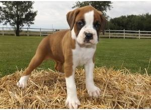 Loving Boxer Puppies Brown Flashy Red & White KC Reg