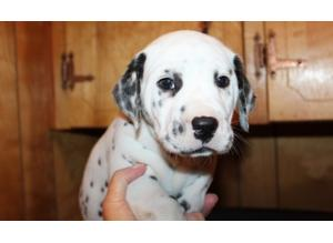 SPOTTED LEGACY KC reg Dalmatian Puppies for Sale