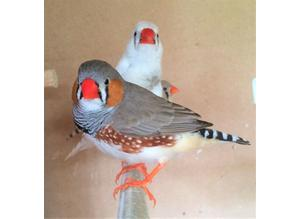 Zebra Finch an Bengalese finches