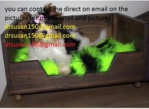 Last littleAGCOM Minature Yorkshire Terrier Pups Ready NowStunning little boy sadly for sale