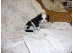 Beautiful Kc Cavalier King Charles Puppies