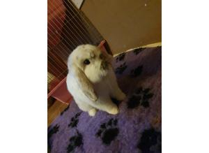 Mini lop, Buck for sale with cage ect.