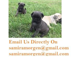 cutei eastonite pug puppies **black and fawn**
