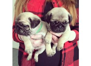 male and female puggies available