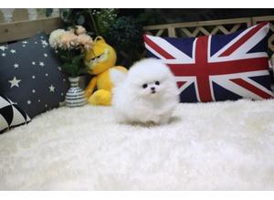 READY NOW! Stunning one in million teacup Pomeranian million stunning