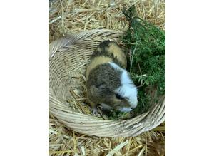 3 beautiful crested Guinea pigs sows