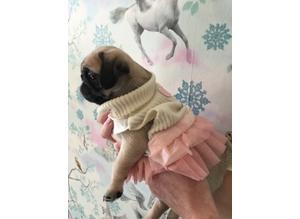 EAGLEHALL. KC REG Beautiful pug babies TOP PEDIGREE LINES EASTONITE Read Now !!!!!!!!!!!!