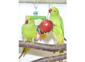 Baby Ringneck Parrots