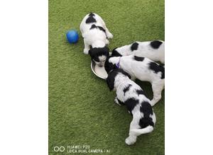 Beautiful Sprocker Spaniel puppies