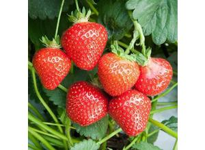 4 x STRAWBERRY PLANTS FOR £5 or 8 plants for £9