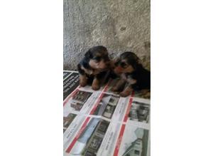 Lakeland terrier puppies