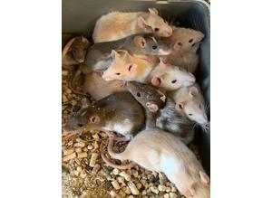 6 beautiful rats boys and girls