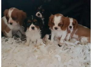 extremely confident And comfortable hereditary clear of cc, de and episodic falling pedigree cavalier king charles spaniel puppies very lively puppies