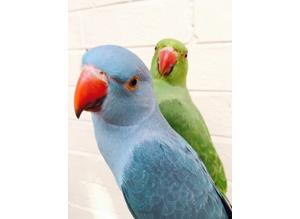 Hand tame baby Indian ringneck talking parrots