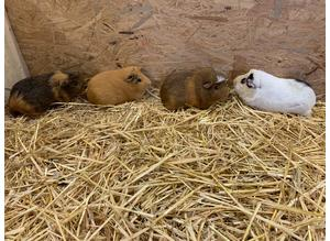 4 Stunning Guinea pigs sow