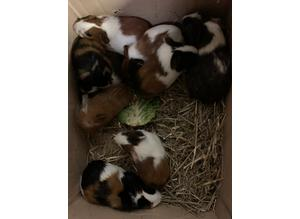 6 Beautiful Guinea pigs sows