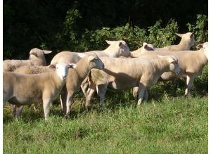 EASYCARE YEARLING TUPS AND EWES