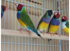 All types of finches, quails, doves, budgies available