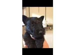 scottish terrier x miniature jack russell pups ready now