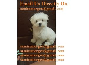 Exceptional white with black point KC Maltese Terrier puppies