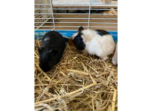 Baby Guinea pigs 2 females 1 male