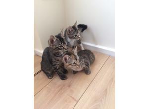 Kittens tabbys 8 weeks old