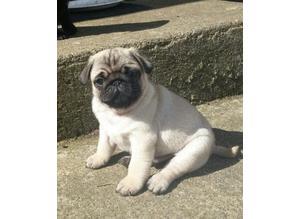 pug puppies 3 months