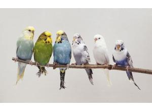 Budgies Available...baby or exhibition