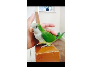 Hand reared baby Quaker talking parrot