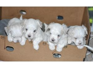Excellent Kc Maltese Puppies Tiny & Top Quality