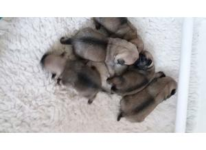 Beautiful litter of 5 Pug Puppies Boys £950 Girl £1000