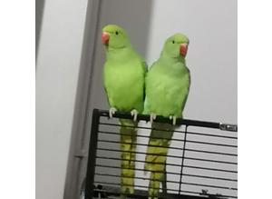Baby Ringneck Parrots...Blue, Green