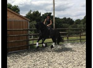 STUNNING FRIESIAN GELDING for sale