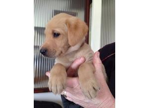 KC registered Labrador pups for sale.