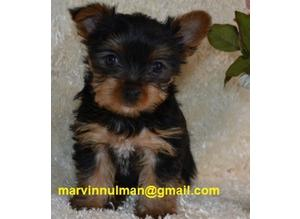 Sophisticated Sweet Teacup Yorkshire Terrier Puppies Ready for sale