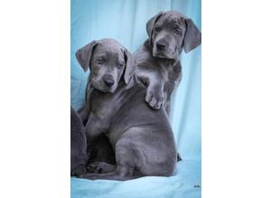 PERFECT.......!!! OMG paw prints Blue/Dotted Great Dane Puppies Super friendly....!! Super markings. Father Champion