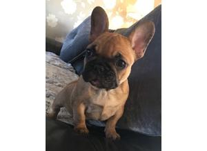 French bull pups ready for a new home