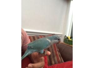 Super tame hand reared talking parrot blue  Quaker